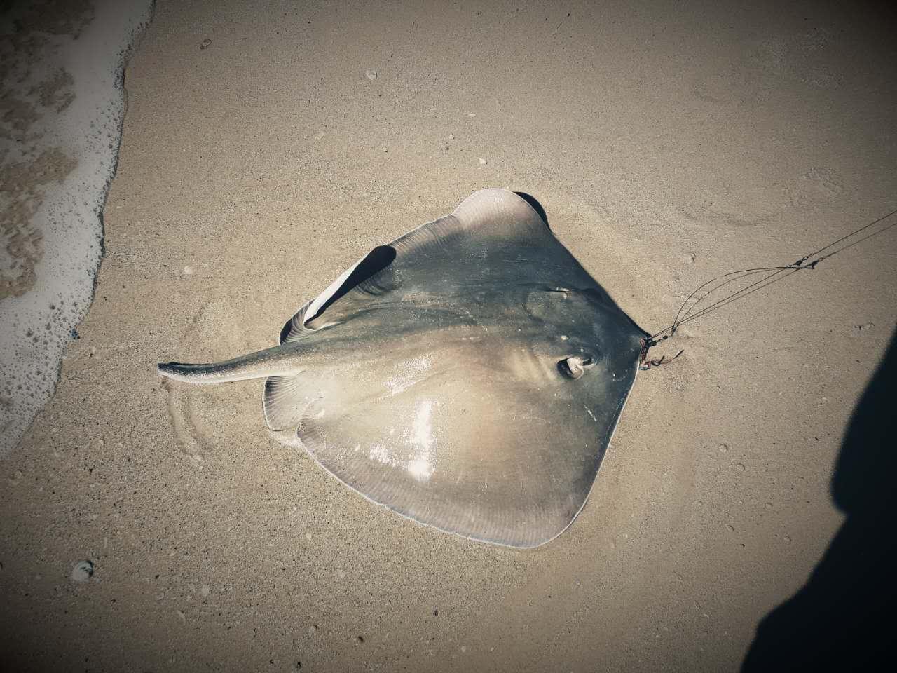 southern stingray good shark bait