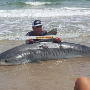 Tiger Shark - the beach angler