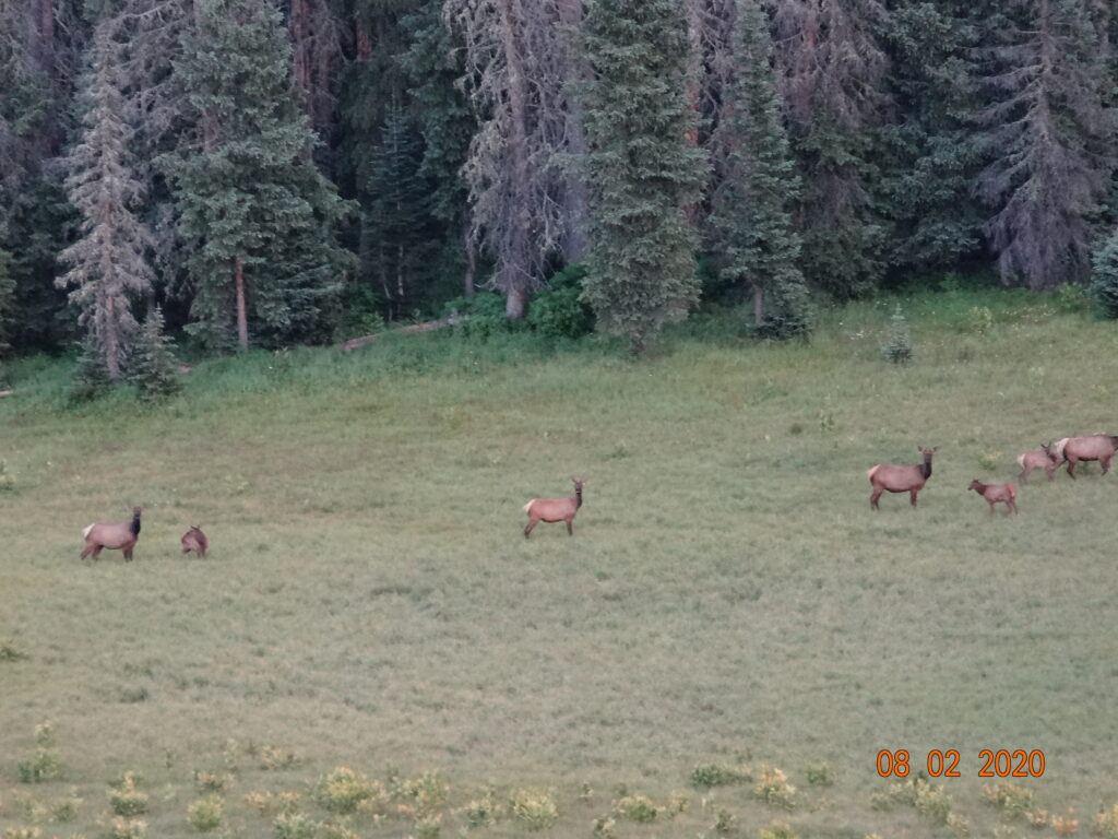 elk south san juan wilderness of colorado