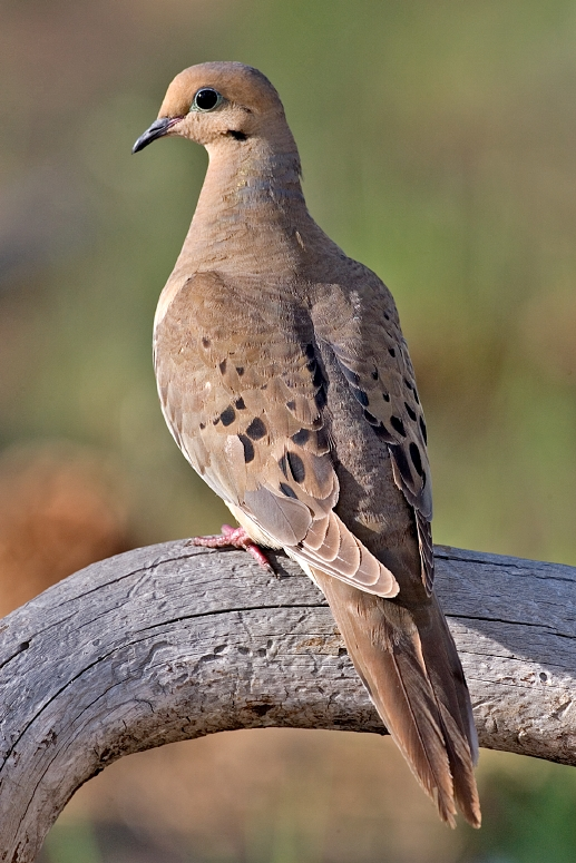 Cast and Blast - mourning dove
