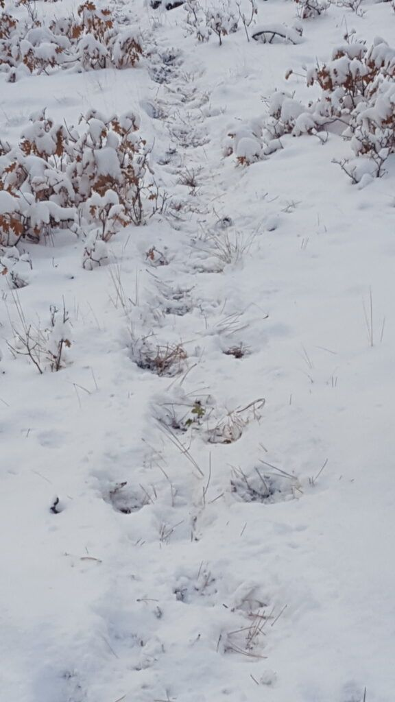 elk hunt - elk trail in the snow