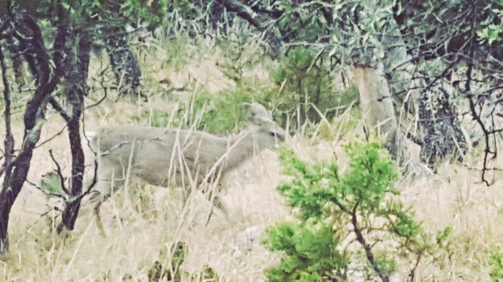 Backpacking Big Bend National Park - Mule deer doe