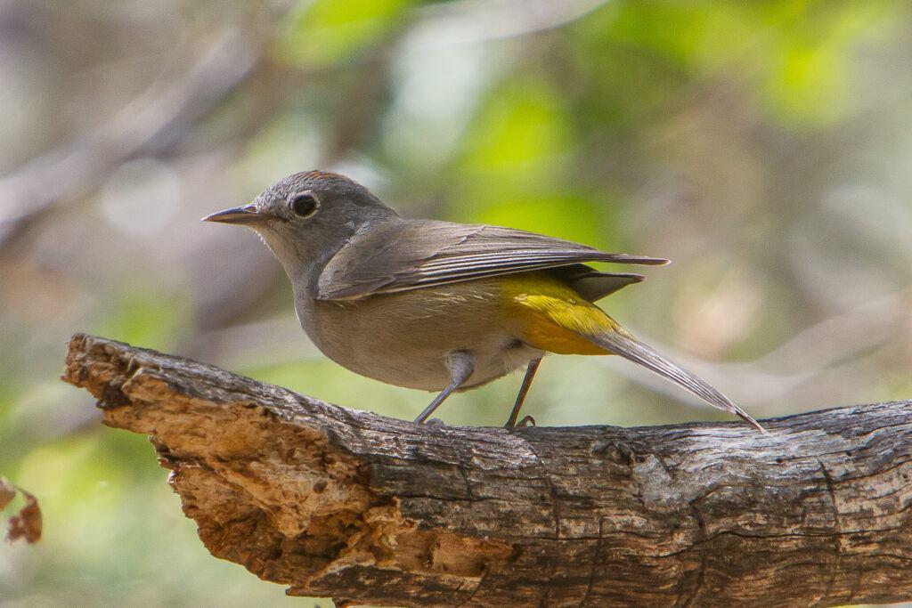 big bend national park - Colima Warbler