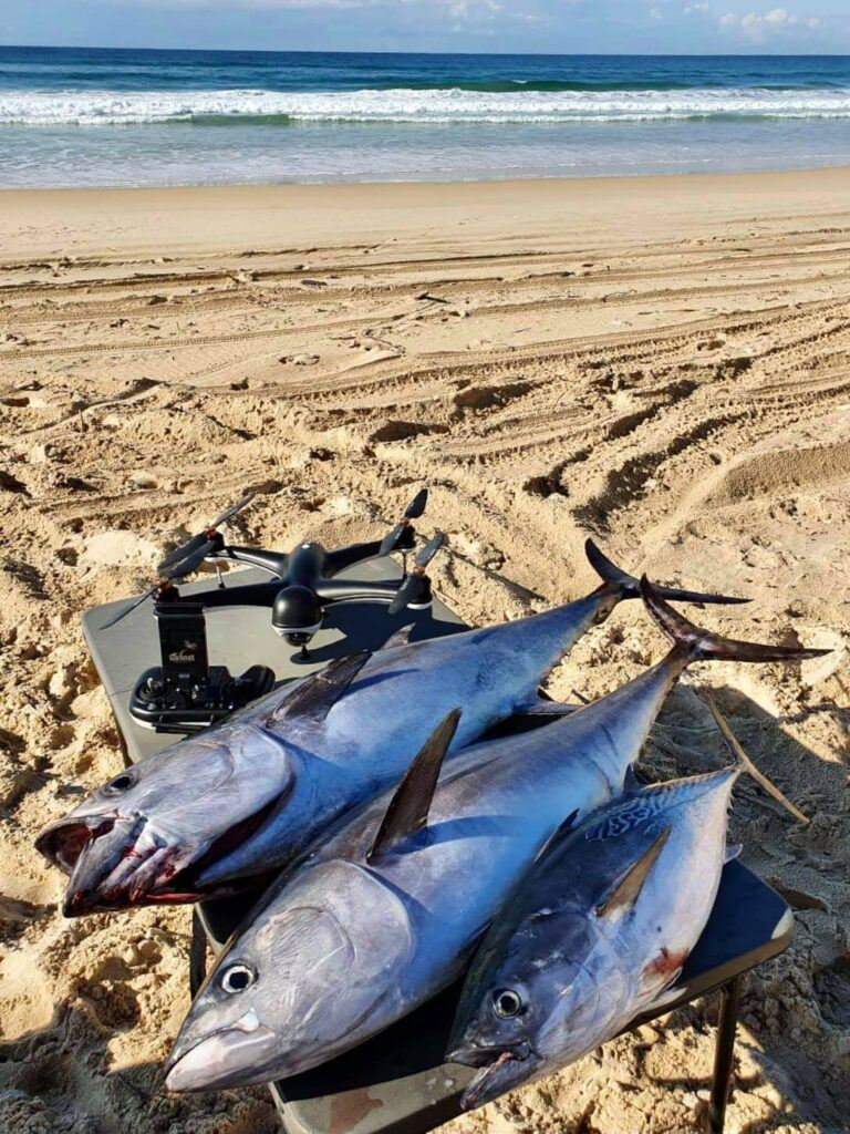 Tuna caught from the beach and ready for the fillet knife